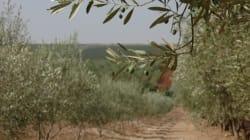 Une bactérie tueuse d'oliviers menace le