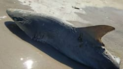 Μυστήριο γύρω από μισοφαγωμένο καρχαρία στην Φλόριντα. «Του επιτέθηκε μεγαλύτερο