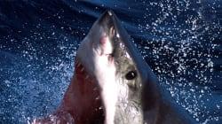 Μεγάλος λευκός καρχαρίας πλησιάζει σέρφερ, παίρνει στάση επίθεσης και η συνέχεια κόβει την