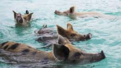 Πεθαίνουν τα διάσημα γουρούνια που κολυμπούν ελεύθερα στις Μπαχάμες. Και φταίει ο