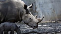 Après l'affaire du crocodile en Tunisie, un rhinocéros abattu dans un zoo en