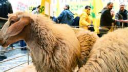 Κτηνοτρόφοι διαδήλωσαν με πρόβατα έξω από το ιταλικό