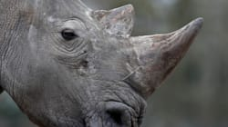 Δολοφονία τετράχρονου ρινόκερου σε ζωολογικό κήπο. Τον πυροβόλησαν και άρπαξαν ένα από τα δύο κέρατά