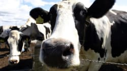 Τούρκοι «απέλασαν» 40 αγελάδες από την