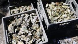 Les huîtres de Oualidia de nouveau interdites à la