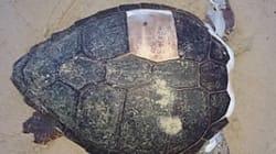 Δέκα αποκεφαλισμοί θαλάσσιων χελωνών μέσα σε δύο μήνες στη