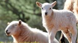 Στην Καβάλα θα έσφαζαν ζώα με τη βάναυση μέθοδο του εβραϊκού Κοσέρ. Ερωτήματα για το πως