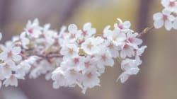올해 벚꽃축제가 열리는 지역 10곳