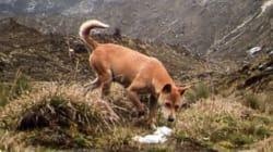 (ξανα)Βρέθηκε ο αρχαιότερος και πιο σπάνιος σκύλος στον