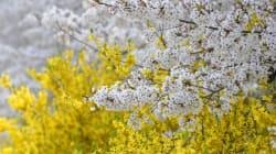 개나리와 벚꽃이 함께 피는 '봄꽃 대혼란'의