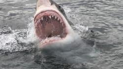 Un grand requin blanc attaque un kayakiste et son bateau en Californie