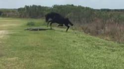 Άλογο εναντίον αλιγάτορα. Η συγκλονιστική στιγμή που ένα ερπετό δέχεται επίθεση από το ατρόμητο