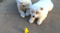 용맹한 사모예드 강아지들이 장난감 개구리를