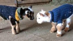 태어난 지 하루 된 새끼 염소가 점프를 배우다