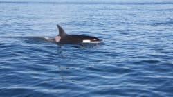 Φονική μανία: Φάλαινες όρκες επιδίδονται σε επιθέσεις άνευ προηγουμένου εναντίον άλλων φαλαινών στην