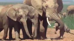 Cette vidéo d'un bébé éléphant maltraité par un adulte en chaleur brise le
