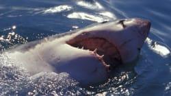 Τιτανομαχίες στους βυθούς: Φάλαινες όρκες κυνηγούν λευκούς καρχαρίες στα νερά της Νότιας