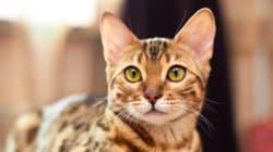 Belgique: fin de l'alerte sur les chats porteurs de rage en provenance du