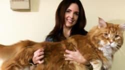 이 고양이가 어쩌면 세상에서 가장 큰 고양이일 수