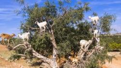 Pourquoi les chèvres qui grimpent dans les arganiers aident (sans le savoir) les