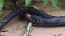 Κανιβαλισμός ερπετών: Ένα ζωντανό φίδι βγήκε μέσα από ένα άλλο