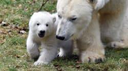 Μια πολική αρκουδίτσα ξαπλωμένη δίπλα στη μαμά της χαιρετά τον φακό και ξετρελαίνει το
