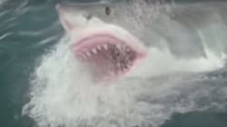 Un grand requin blanc attaque un kayakiste en