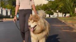 Αυτός ο πελώριος σκύλος νομίζει ότι είναι ακόμα κουτάβι (φωτογραφίες &