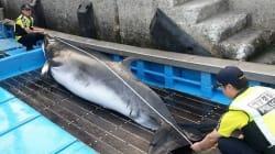 그물 걸린 밍크고래는 정말 '바다의