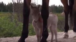 Ο μικρούλης Γκιούλιβερ είναι το μικρότερο άλογο στον