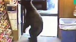 Cet ours avait apparemment très envie de boire un