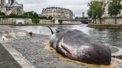 Μια νεκρή φάλαινα στις όχθες του Σηκουάνα έχει αναστατώσει τους