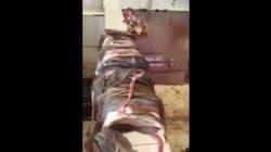 Vidéo choc dans l'abattoir de Berkane, la commune
