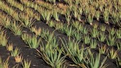 Khenchela: plus de 40 jeunes formés aux techniques de plantation et de transformation de l'Aloe