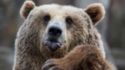 Εισβολή από...αρκούδες σε πόλεις της
