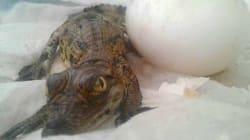 Naissance de crocodiles à Agadir