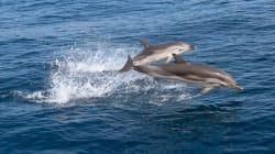 Στα στομάχια δελφινιών καταλήγουν τα πλαστικά απορρίμματα, δείχνει έρευνα του Ινστιτούτου