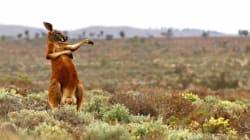 Βίντεο: Αγοράκι στη Μελβούρνη πλησιάζει καγκουρό και εκείνο του ρίχνει μια...