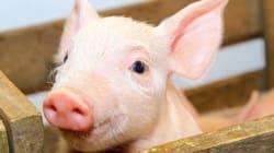 소방대원들에 대한 감사를 표시하고자 그들이 구조한 새끼돼지로 만든 소시지를 선물한