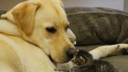 5주 된 새끼 고양이의 수양 아빠가 된 이