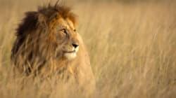 Ένας, αλλά λέων: Τι συνέβη όταν ύαινες όρμησαν σε λιοντάρι για να του αρπάξουν το φαγητό