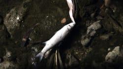 Νέκρα ψάρια στο ρέμα της