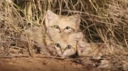Pour la première fois et au Maroc, des chercheurs sont parvenus à filmer des chatons du désert