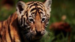 «Συμμορία» από τίγρεις της Βεγγάλης επιτίθεται σε μια λευκή τίγρη σε ζωολογικό κήπο στην