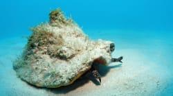 Δείτε πώς κωνικό σαλιγκάρι κατασπαράζει ένα