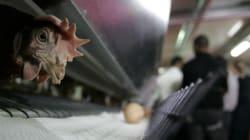 Les viandes de volailles marocaines inspectées par l'UE en vue de les
