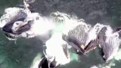 Εντυπωσιακό βίντεο: Πέντε φάλαινες κυνηγούν τη λεία