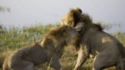 Στους δύο τρίτος δεν χωρεί: Άγρια μάχη αρσενικών λιονταριών για τα μάτια μιας