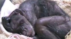Χιμπατζής λίγο πριν πεθάνει αναγνωρίζει τον άνθρωπο που την φρόντιζε από το