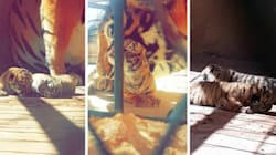 Naissance de deux bébés tigres dans un zoo à Ghardaïa